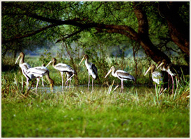Keoladeo Ghana - Bharatpur Bird Sanctuary